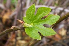 Lle foglie verdi di un fico Albero di Ficus carica agricoltura Immagini Stock Libere da Diritti