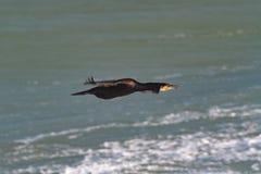 Lle grande adulte, o grande Cormorant nero in volo sopra il mare fotografie stock