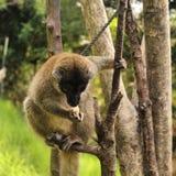 Lle lemure che mangiano pane Immagine Stock Libera da Diritti