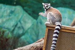 Lle lemure con alimento in mani Immagini Stock