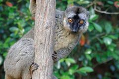 Lle lemure curiose Fotografie Stock Libere da Diritti