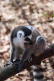Lle lemure lring-munite tristi si siedono su un fascio di legno su un recinto di legno e distolgono lo sguardo fotografie stock