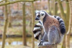 Lle lemure si siedono al tronco di albero Immagine Stock