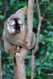 Lle lemure su un ramo Fotografia Stock