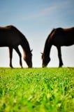 Lle siluette di due cavalli che pascono sul pascolo verde Fotografia Stock