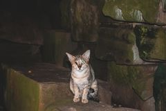 Lle tempie di una dell'occhio del randagio rovina abbandonate terrificanti del gatto Angkor Wat Cambodia fotografia stock libera da diritti