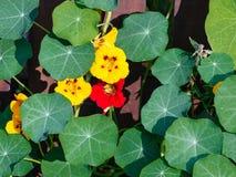 Lleaves и цветки настурции Стоковые Изображения RF