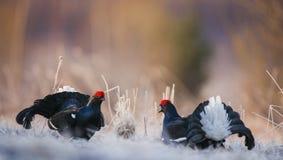 Lleking black grouses (Tetrao tetrix) Royalty Free Stock Images