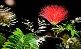 Llena flor florecida de Raintree Fotografía de archivo