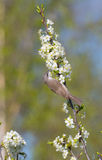 Llesser whitethroat (Sylvia curruca) and flowering fruit tree Royalty Free Stock Image