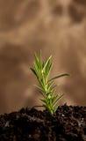 Llevado de una planta de Rosemary Imagen de archivo libre de regalías