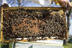Llevar a cabo el marco de la abeja Fotografía de archivo libre de regalías