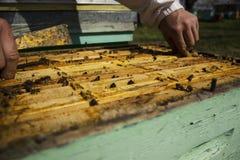 Llevar a cabo el marco de la abeja Imágenes de archivo libres de regalías