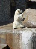 Llevar-cachorro polar mojado Foto de archivo libre de regalías