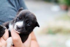 Lleve el perrito negro pobre de la raza de Tailandia con la mano grande humana imagen de archivo libre de regalías
