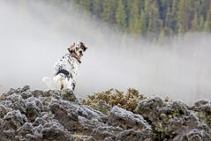 Llewellin Setter Bird Dog On Lava Flow. A Llewellin Setter bird dog on a frosty lava flow rock pile in Oregon royalty free stock photos