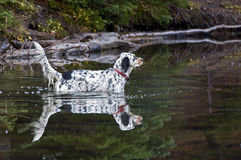 Llewellin Setter Dog Reflection In Lake. A Llewellin Setter bird dog with her reflection in a lake stock images