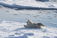 Llies полярного медведя на задней части на льде Стоковое Изображение RF
