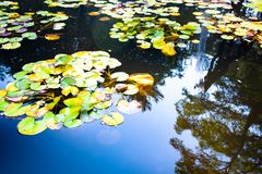 Lillies on the poind in summer royalty free stock photos