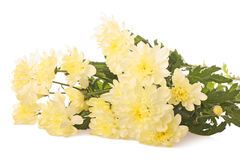 Llight yellow chrysanthemums Royalty Free Stock Image