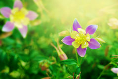 Llilac columbine flower Royalty Free Stock Image