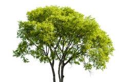 Llimb Of Tree Stock Photo