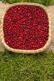 Llingonberries im Weidenkorb auf altem rustikalem hölzernem Brett und Moos Stockbild
