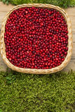 Llingonberries in wicker basket on old rustic wooden board and moss Stock Image