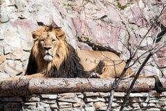 Llion em um jardim zoológico em um dia ensolarado Fotos de Stock Royalty Free