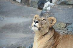 Llion female Stock Image