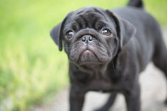 Llittle black pug puppy Stock Photography