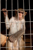 Llittle chimpanzee Royalty Free Stock Photo