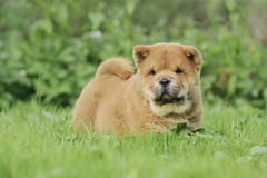 Llittle Chow chow  puppy portrait Stock Images