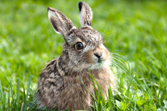 Llittle hare Royalty Free Stock Photos