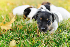LLittle puppies of a jack russell playing outdoors royalty free stock image