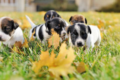 LLittle puppies of a jack russell playing outdoors Stock Photography