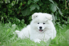 Llittle Samoyed  puppy portrait. In garden Stock Photos