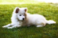 Llittle Samoyed puppy Stock Photography