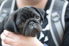Llittle zwart pug puppy Stock Afbeeldingen