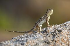 A llizard on a stone in Hampi Royalty Free Stock Photography