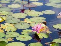 Llotus na lagoa Fotografia de Stock