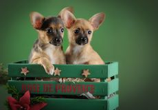 Llovely, cute domestic breed chihuahua puppies in wooden box on dark green background. Dog ears, eyes and faces. Horizontal royalty free stock image