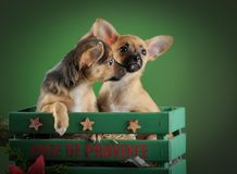 Llovely, cute domestic breed chihuahua puppies in wooden box on dark green background. Dog ears, eyes and faces. royalty free stock photos