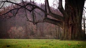 Llover el tiempo, el árbol místico y la hierba verde almacen de video