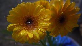 Lloviendo en la flor del gerbera, cámara lenta