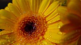 Lloviendo en la flor del gerbera, c?mara lenta