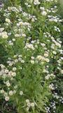 Llttle white flowers on green grass Stock Photos