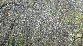 Llueva en el jardín en un árbol con los brotes blancos adentro almacen de video