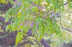 Llueva en la primavera en las ramas de árboles Fotos de archivo libres de regalías
