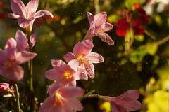 Llueva la flor del lirio (Zephyranthes) en descensos del agua Foco suave fotos de archivo libres de regalías